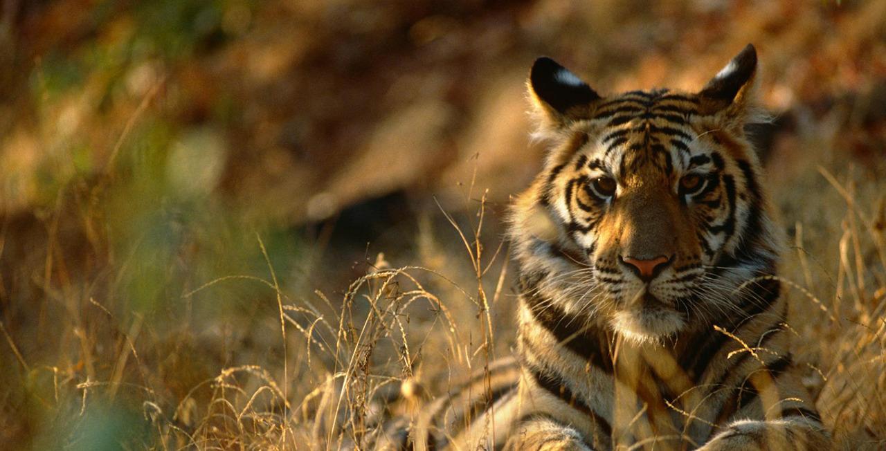 """Tuan Tigabelas: Harimau Sumatera Mengaum dalam """"Last Roar"""""""