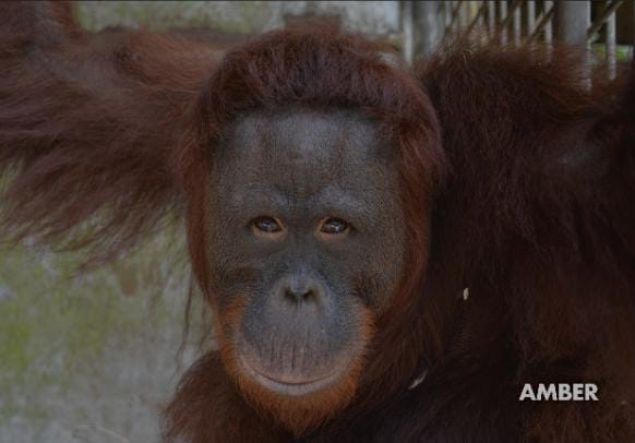 Jamartin Sihite: Jaga Hutan agar Orangutan Tetap Ada