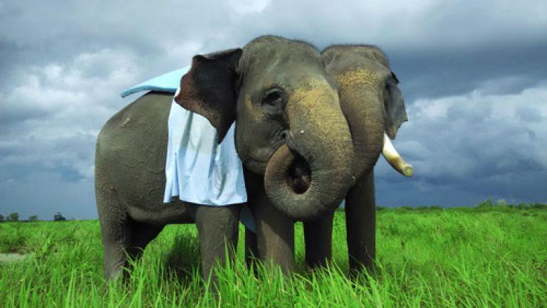 Hari Satwa Sedunia : Gajah Masih Jadi Sasaran Perburuan Liar